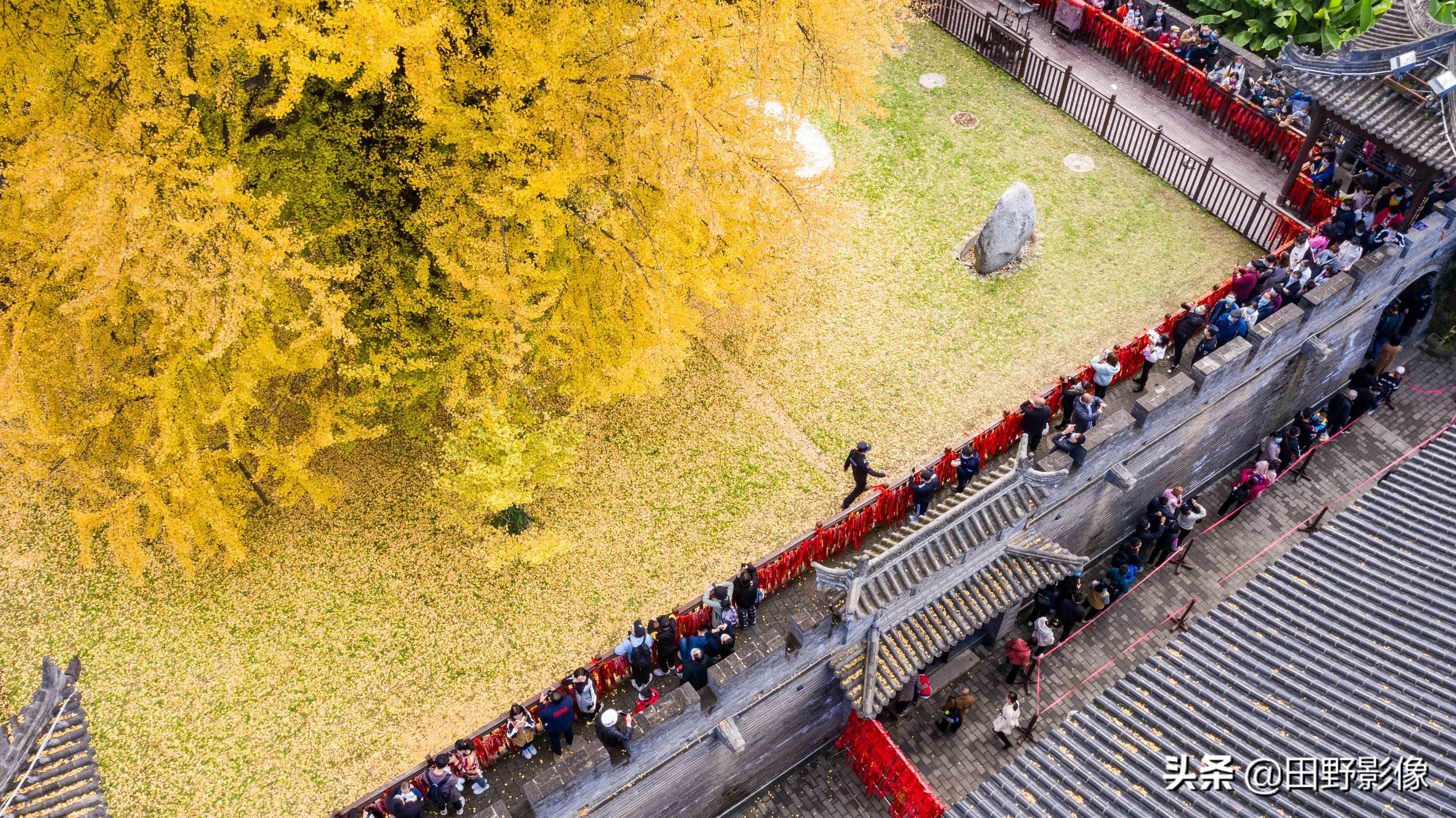 航拍西安唐太宗手植千年银杏 树叶全黄如铺金毯