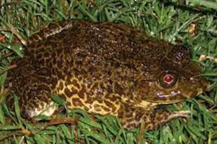 疫情之下,柬埔寨养蛙业何去何从