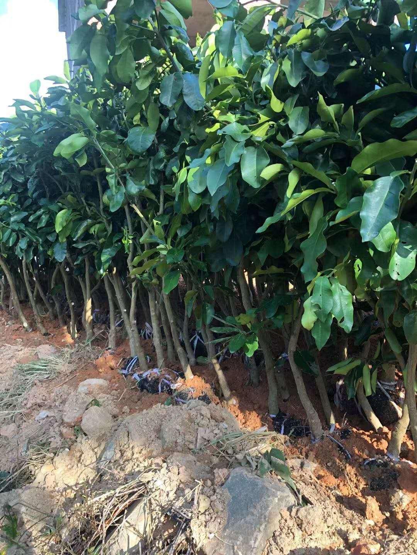 新品种水果泰国红宝石青柚新苗管理最关键的事