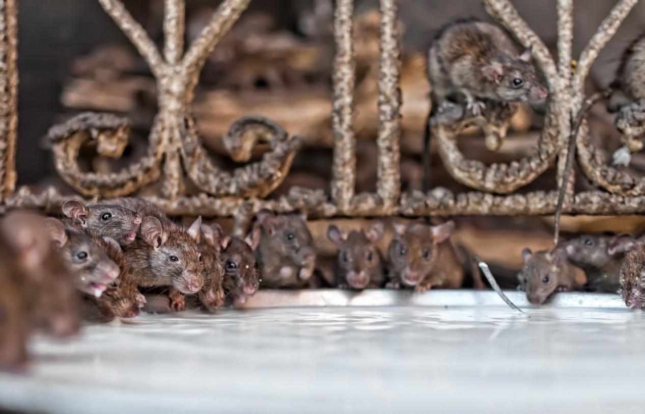 印度确诊病例超765万,大批老鼠在ICU跑来跑去,院方一抓抓到100只