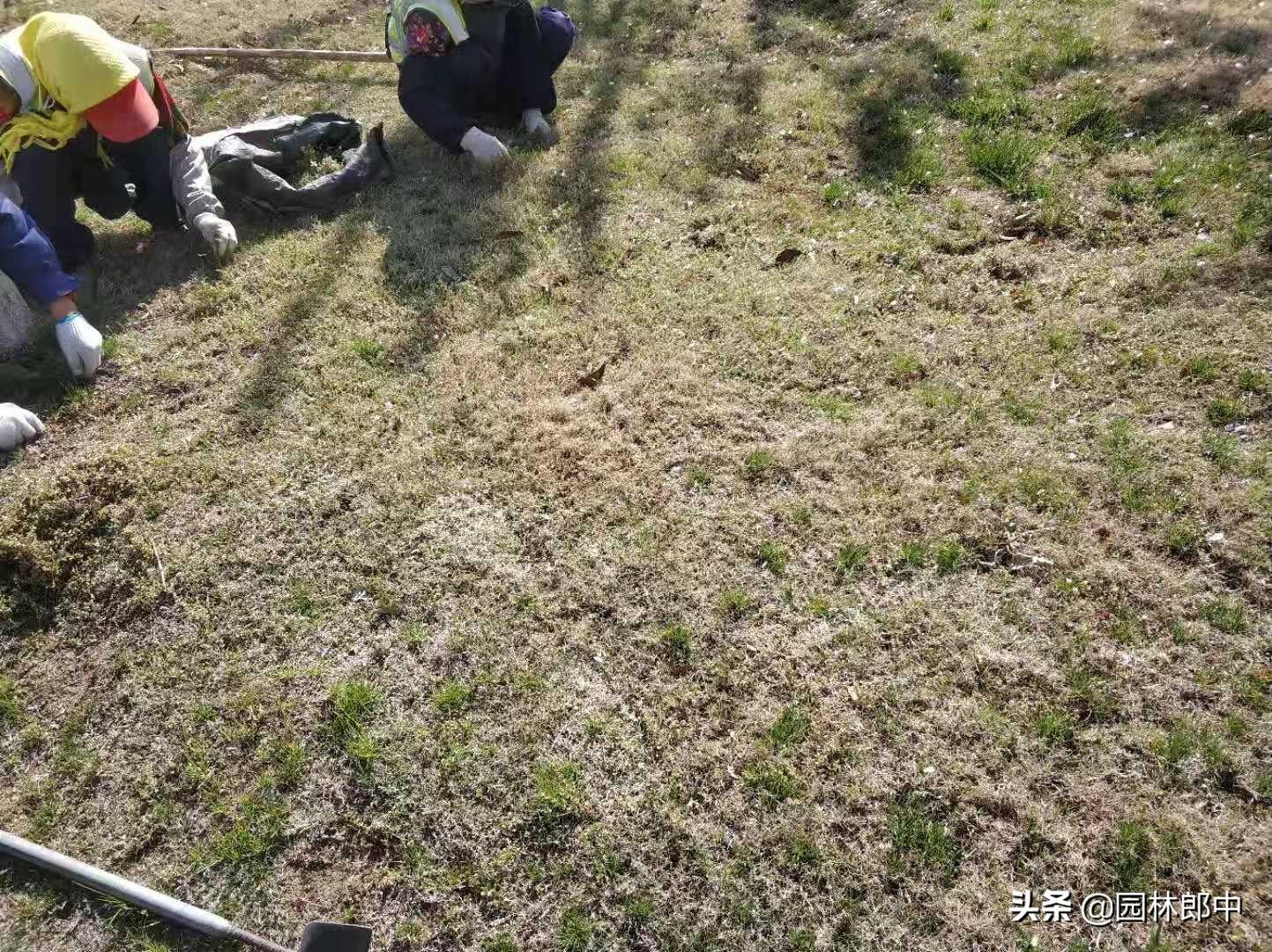 春天草坪成片干枯、死亡,怎么回事儿?原来是金针虫在危害 草坪干枯 第4张
