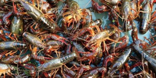 小龙虾养殖的图片 第4张