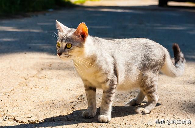 小猫一直叫是什么原因 通常是这7种情况引起