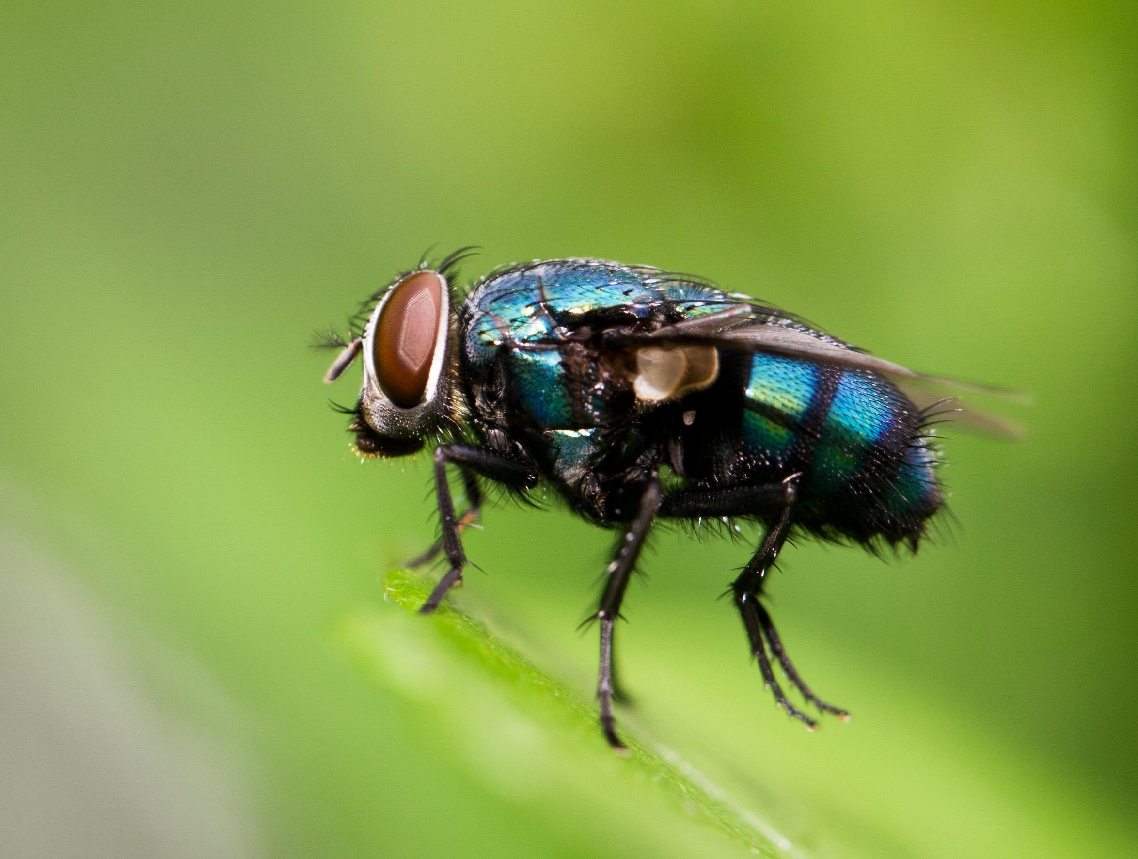 美国包裹!青岛海关查获7000只黑腹果蝇,基因改造是最大的威胁