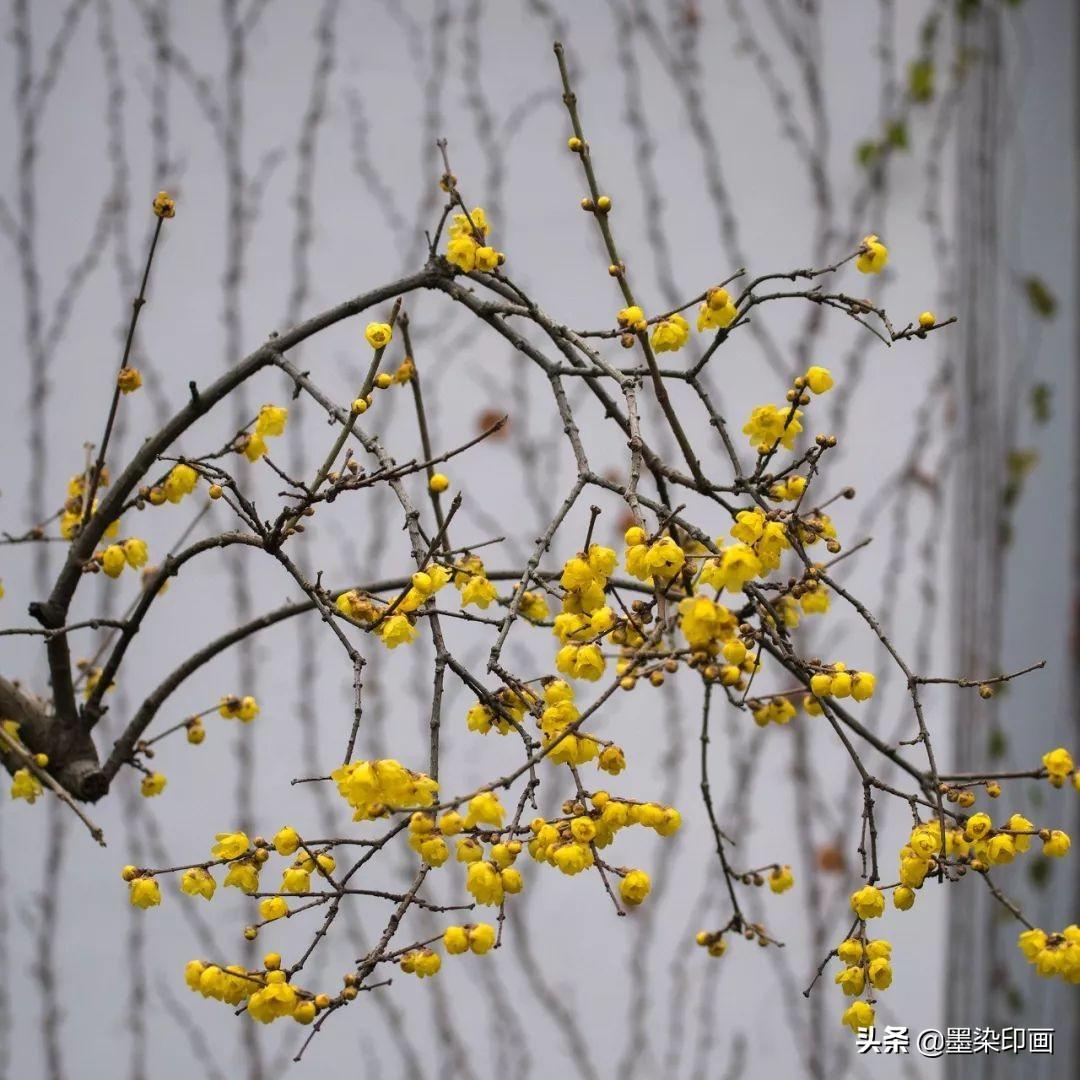 """寒冬的""""腊梅""""怎么拍?28张示例照,详解腊梅的5大技法与创意"""