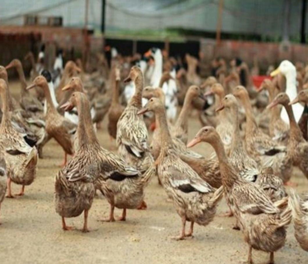 三种家畜养殖,至今是市场上最赚钱的项目,选择养殖一定不错。