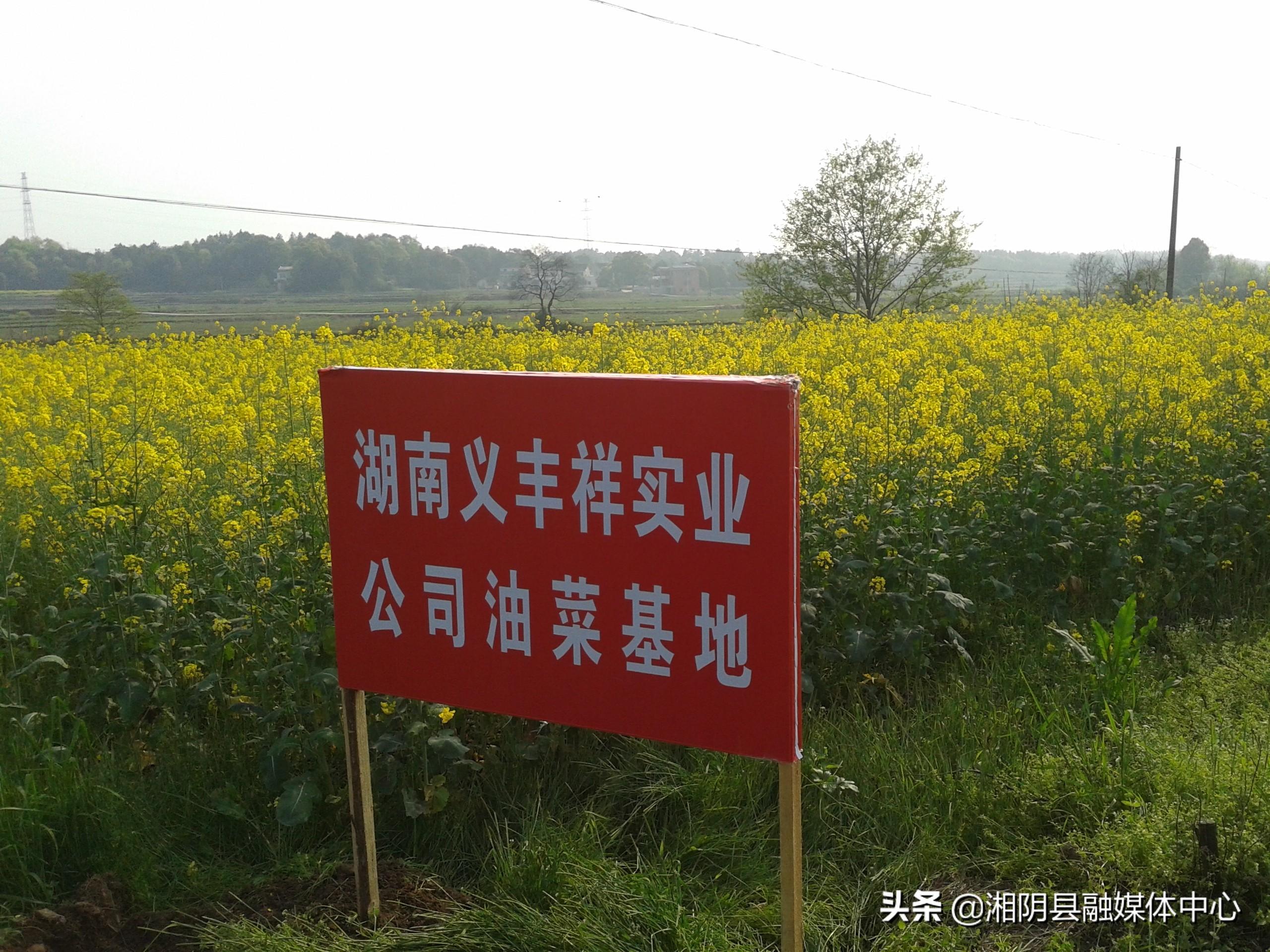 义丰祥油菜订单助力移民区产业发展