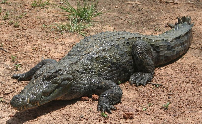 鳄鱼是胎生还是卵生(鳄鱼属于哺乳动物吗)
