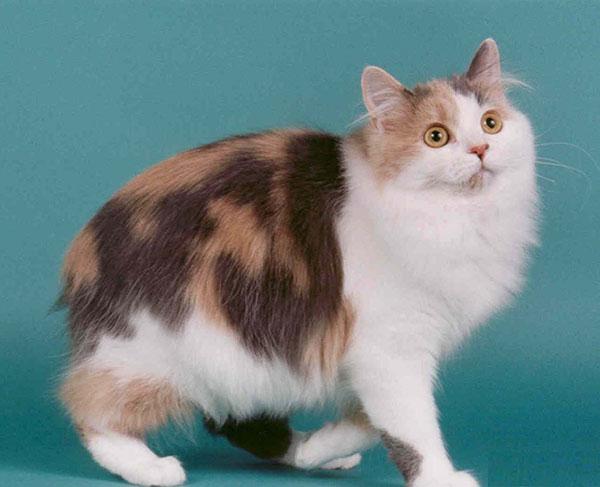 盘点世界上三种无尾猫咪,看下有你喜欢的吗?