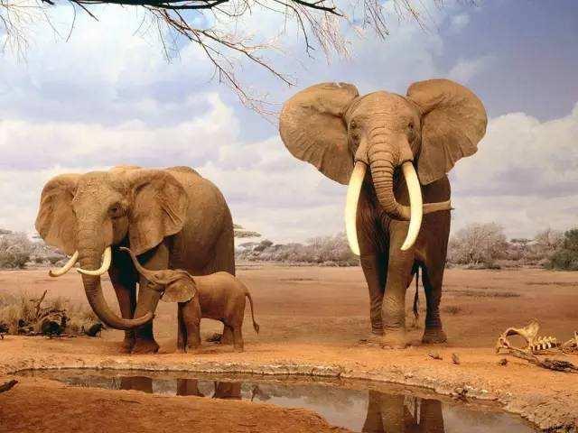 大象摔倒后容易死亡!真的是这样吗?