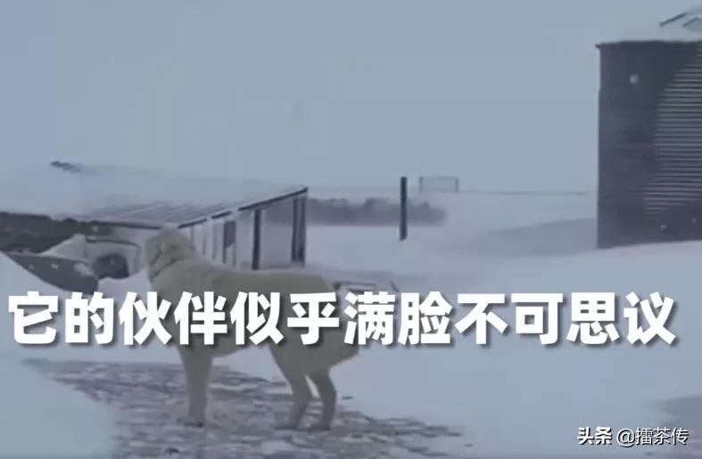 暴雪天边牧冲进风暴带回走失羊群主人看呆