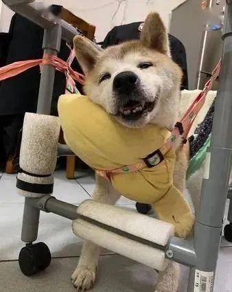 柴犬老年痴呆流口水,家人意想不到的做法,当我看到它全明白了