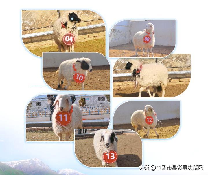 好消息!50只盐池高端滩羊即将线上拍卖
