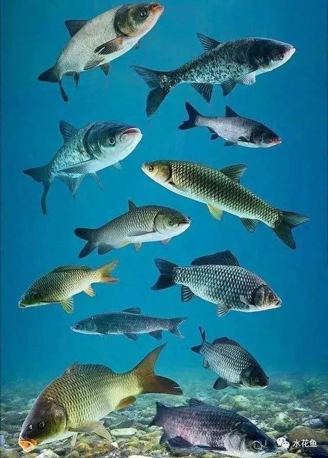 食肉性鱼类的套养与异议:低价值转化为高价值,有害转化为有利