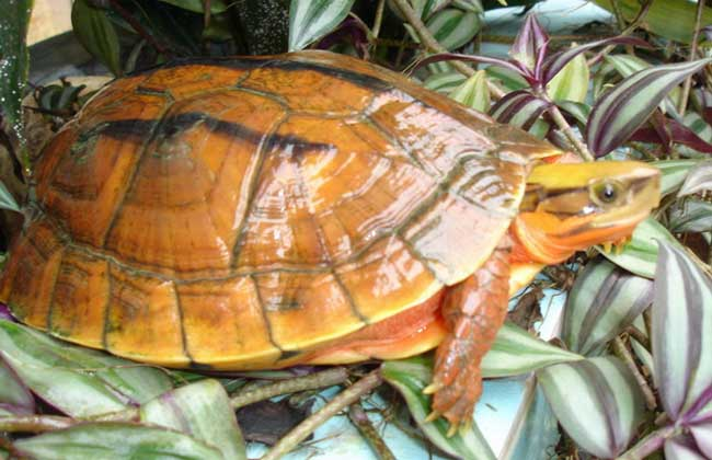 普及一下常見烏龜