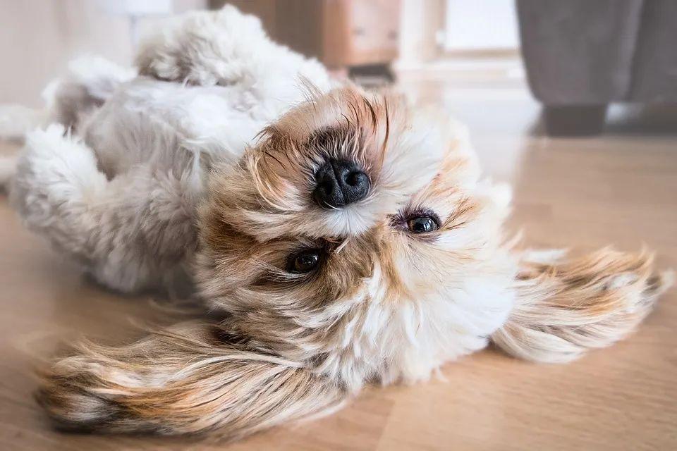 出现这几个警讯,狗狗可能得了心脏病......
