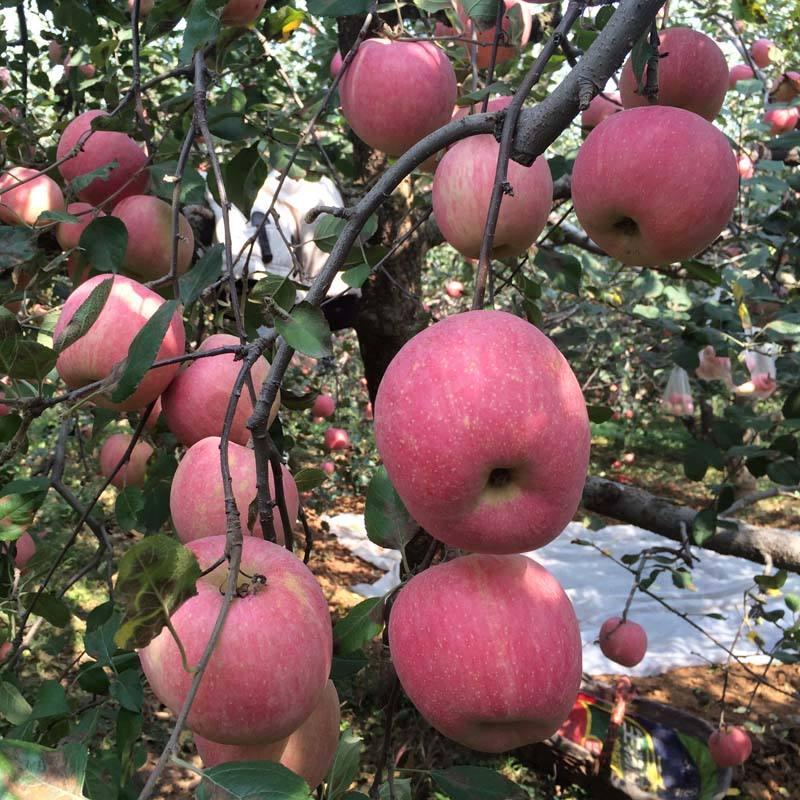 苹果什么时候吃最好?一天可以吃几个?