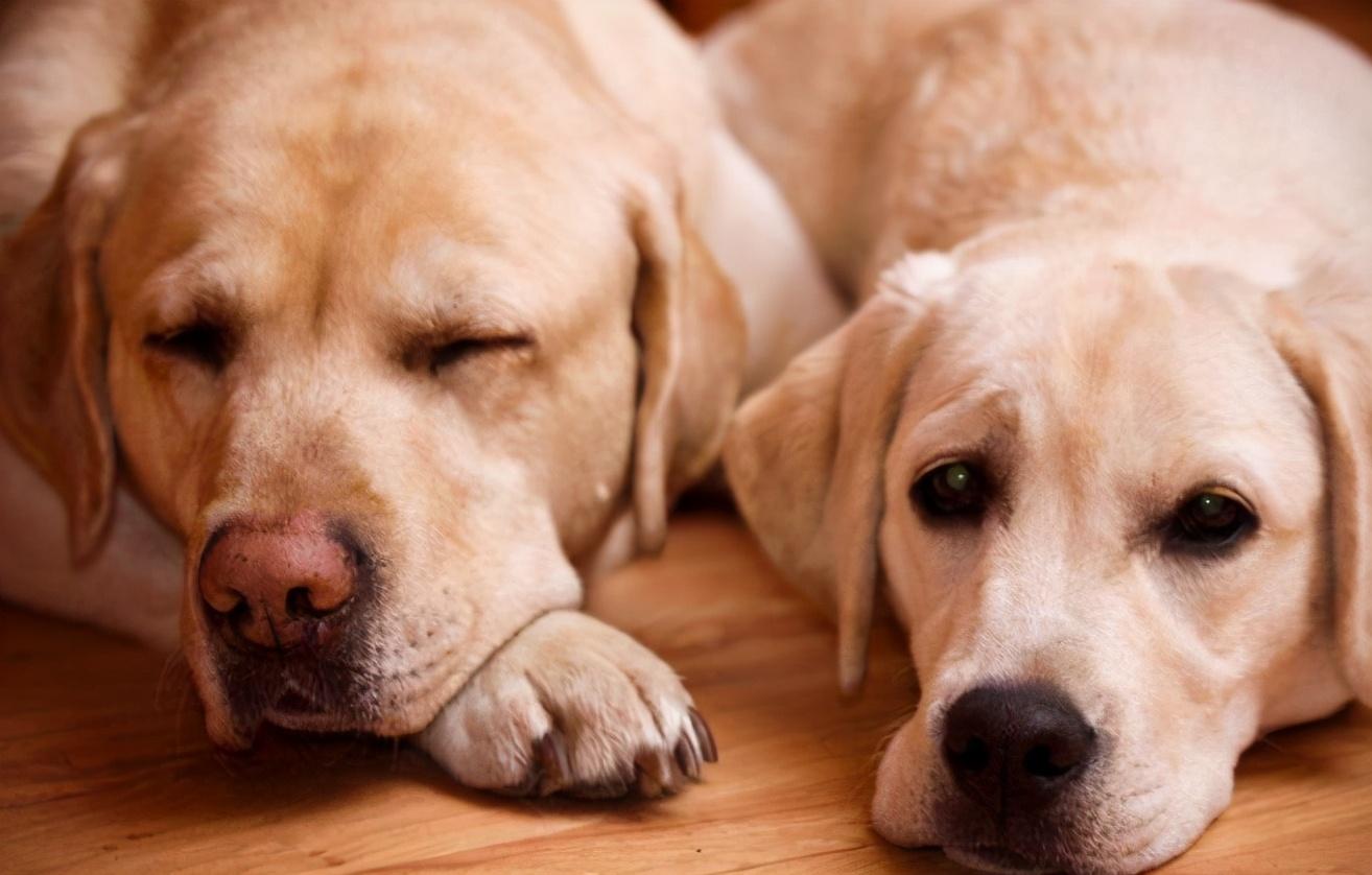这些狗狗鼻子褪色的原因,要弄清楚,然后做好预防