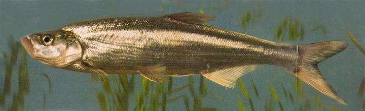 翘嘴红鲌和甲鱼的池塘混养技术
