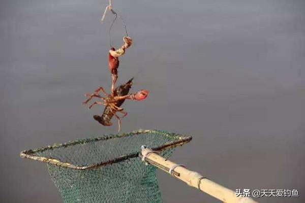 小龙虾的垂钓方法,方法简单好操作,一个小时钓一大桶