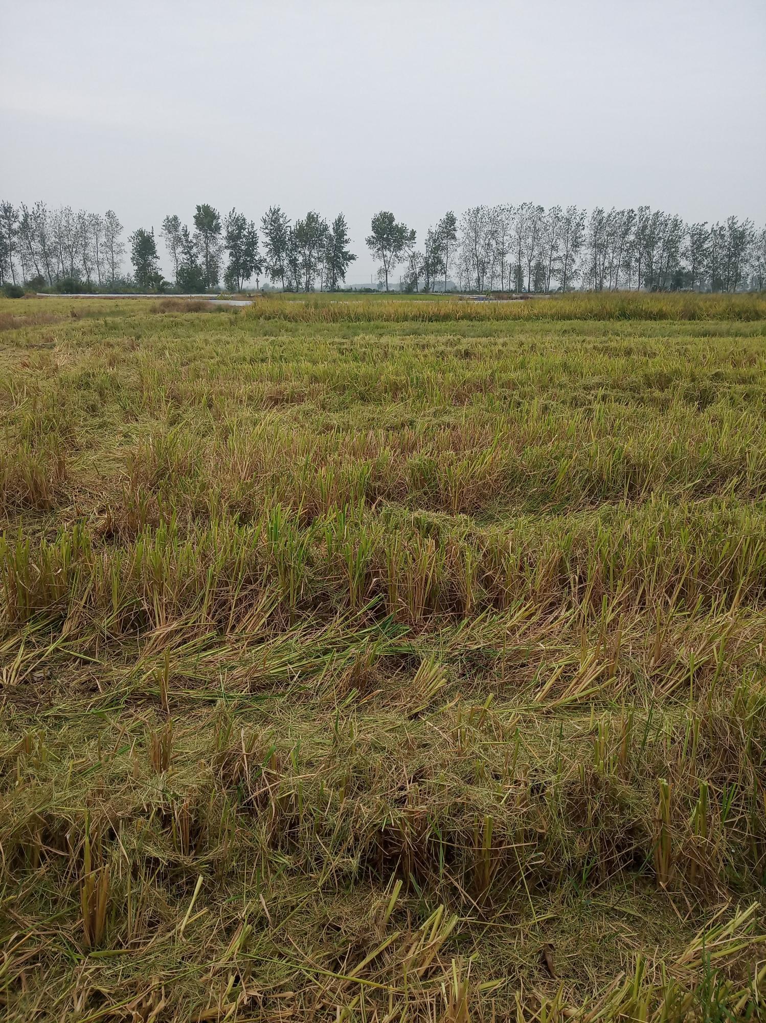 稻虾田收割之后稻茬到底是留长还是留短?稻茬返青是好事吗?