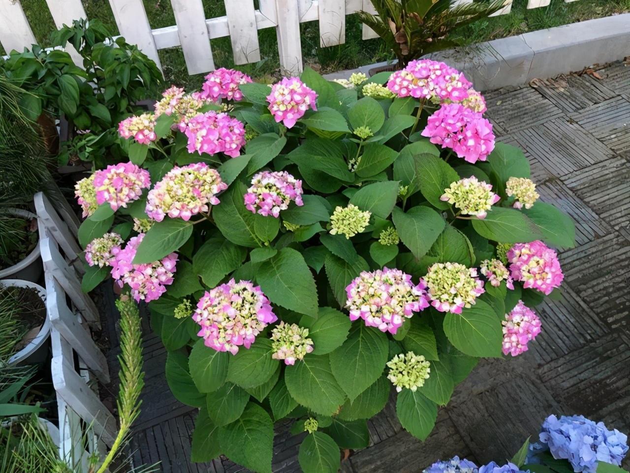 每年4月养绣球花,抓住5个要点,不出3周就是大花苞 家务 卫生 第1张
