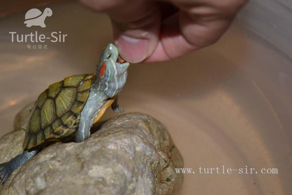 四種危害烏龜壽命的日常,朋友,請你不要這樣養龜「龜谷鱉老」