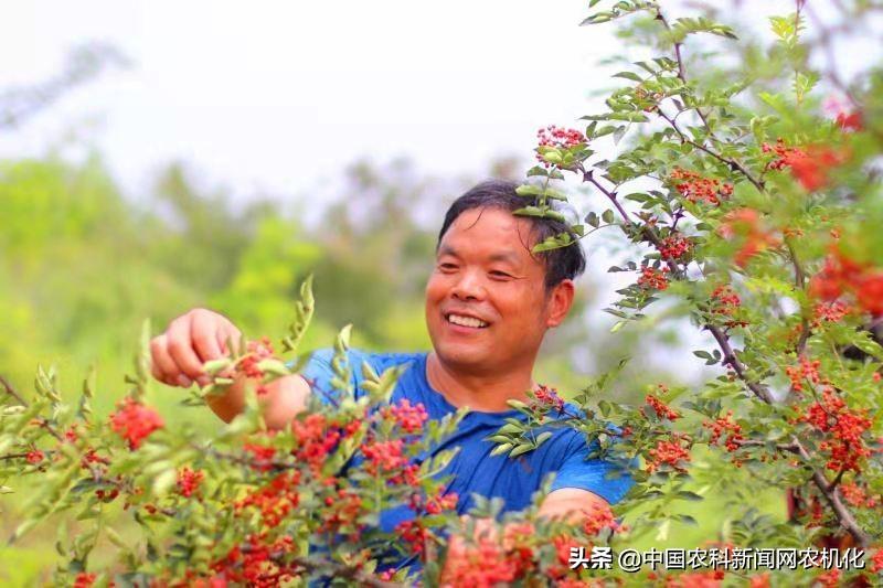 宜阳精品花椒是怎样炼成的