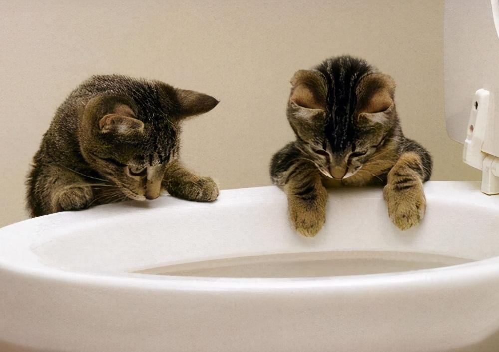 猫咪为什么对马桶水情有独钟?它们有可能是在向你宣誓主权