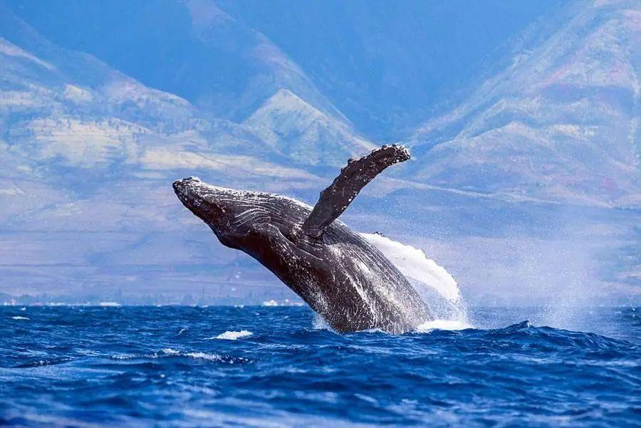 鲸鱼在海里究竟怎么哺乳?座头鲸:我有独特的吃奶姿势