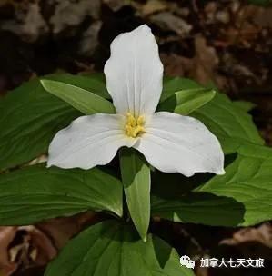 加拿大的国花,代表各省的花草