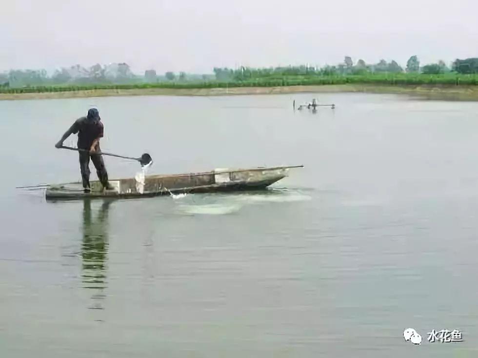 生石灰(氧化钙)与水产养殖:传统古法功能多!调水治病作用大