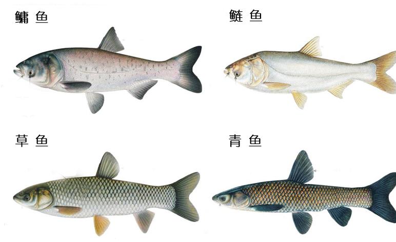 """四大家鱼在美国""""子孙满堂"""",为什么在长江却集体""""难产""""?"""