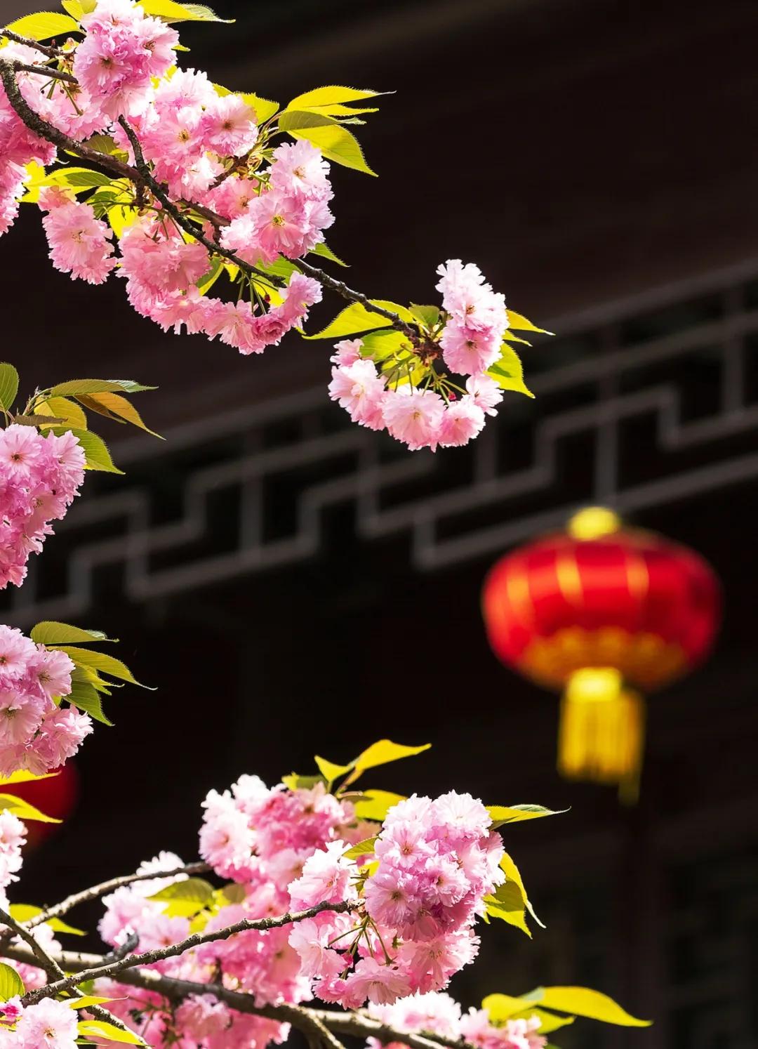 趁着春光未老,还来得及,去光福赶一场樱花季