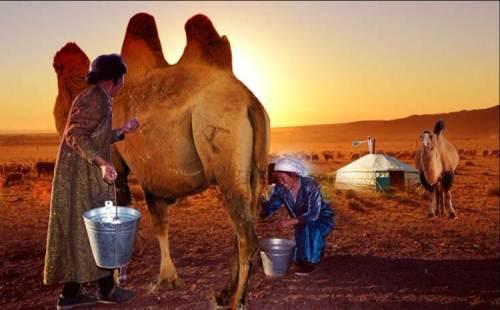 骆驼奶的功效和作用