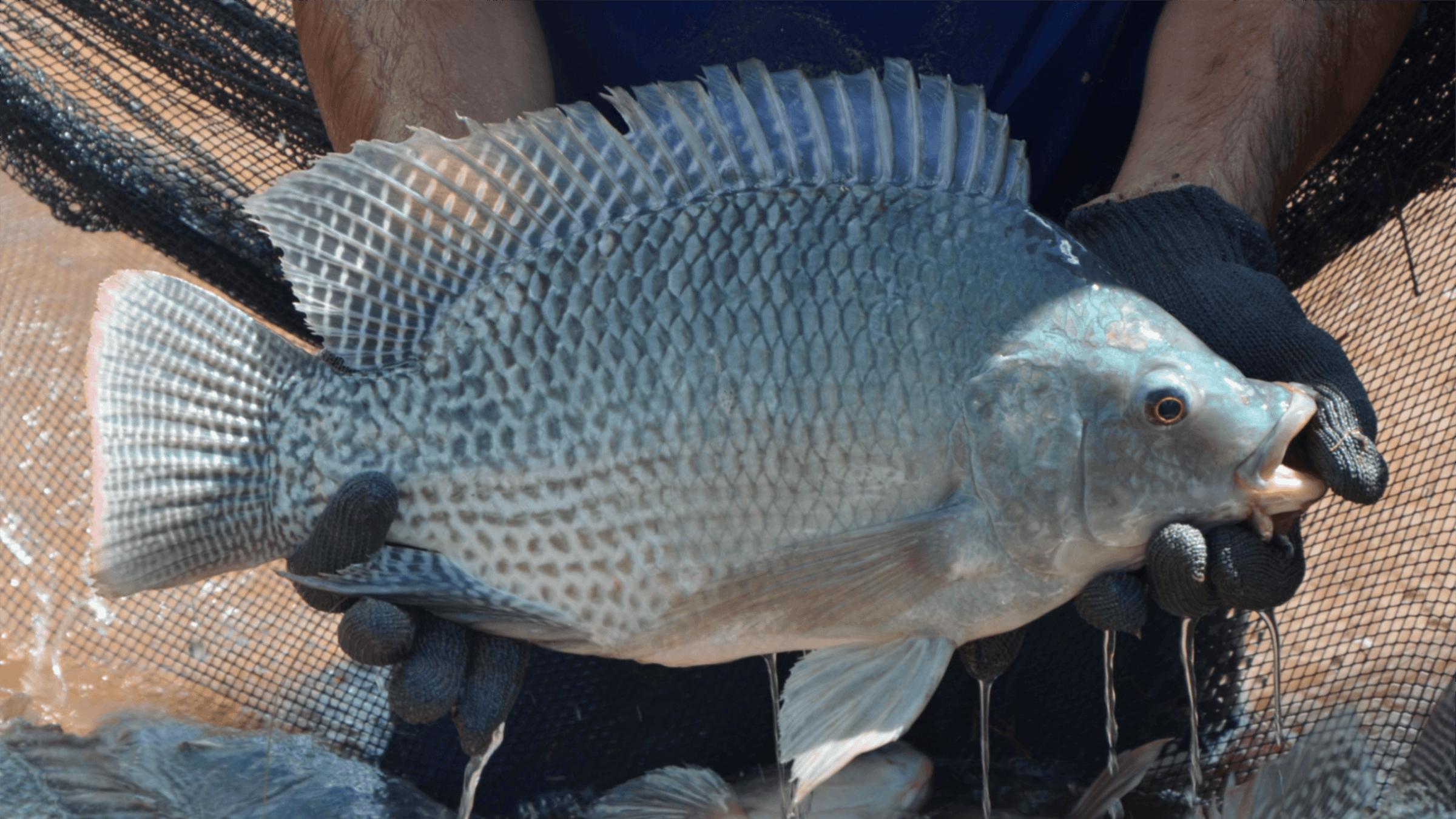 """非洲鯽魚侵入珠江口,3個月就能繁殖,本土魚被逼入""""絕境""""?"""