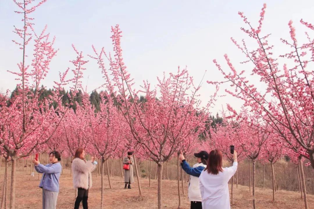 春晓德阳   惊艳!朵朵桃花迎春怒放
