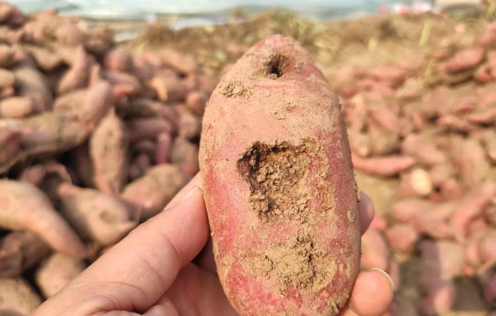 红薯受到地下害虫危害?了解危害特点,及时及早防治,促进高产