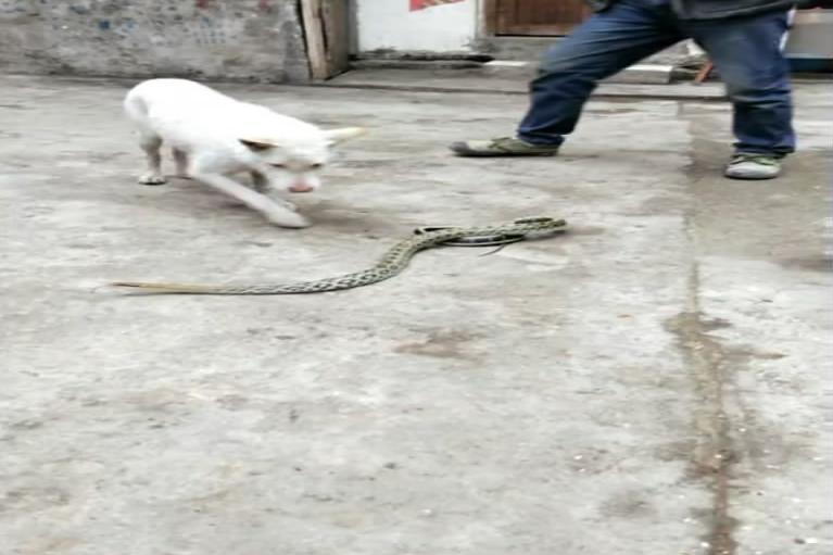 毒蛇咬了狗,狗咬了人,人到底会不会中蛇毒?