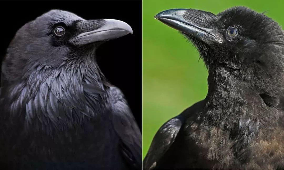 达尔文错了?北美洲乌鸦用几万年时间逆转生殖隔离,是怎么回事?