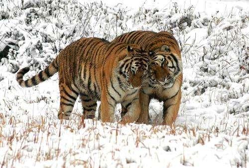 中国最有希望恢复东北虎种群的地方之一:小兴安岭