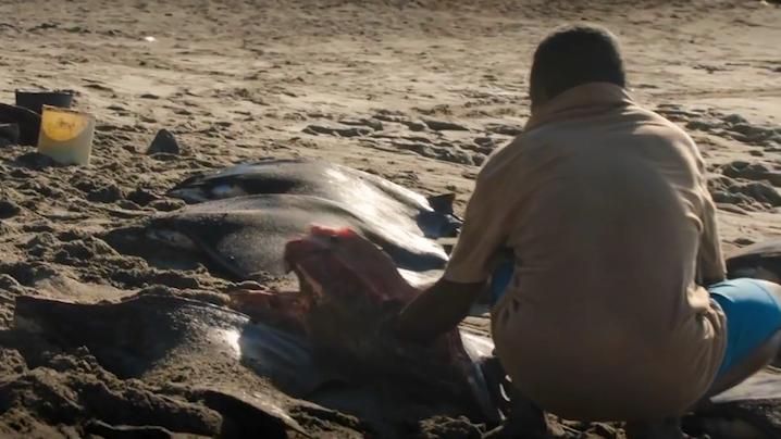 印尼最后的捕鲸部落:一天1头抹香鲸和10头海豚,价值才到1美元
