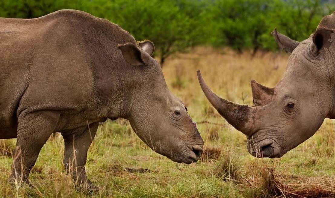 地球上仅存2只!北部与南部白犀牛命运完全不一样,还能恢复吗?