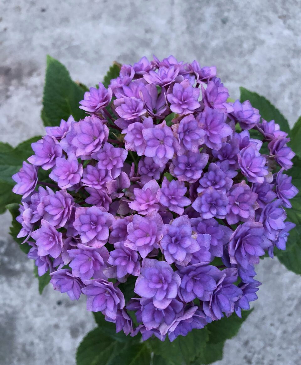每年4月养绣球花,抓住5个要点,不出3周就是大花苞 家务 卫生 第4张