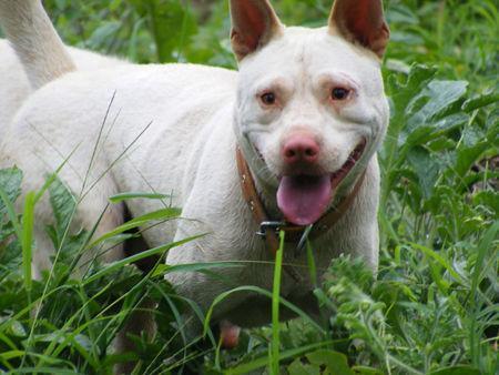 4大土生土长的中华猛犬,实力非凡,在国外非常有名