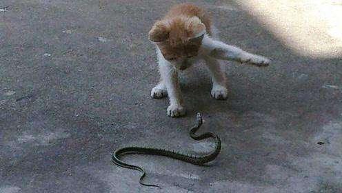 喵星人为什么不怕蛇?这四大优势,让猫咪立于不败之地