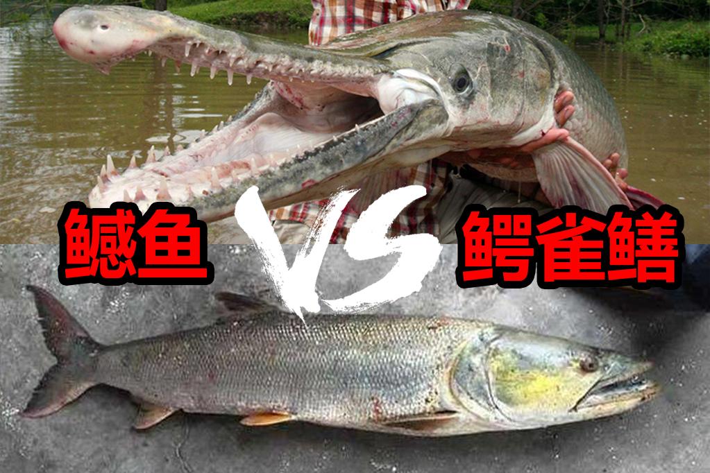 """都曾""""称霸一方"""",这场霸主间的较量:鳡鱼和鳄雀鳝,孰强孰弱"""