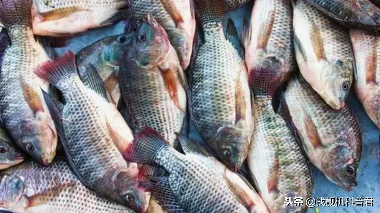 为什么吃货们却不爱吃罗非鱼呢?