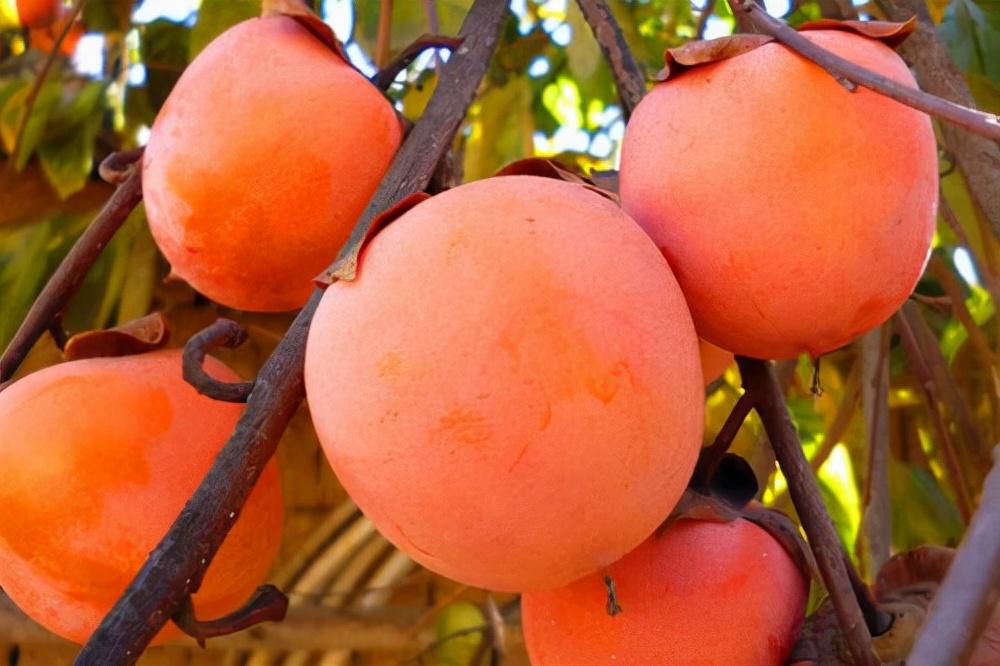 """老話說""""一個柿子十副藥""""是什麼意思?如何正確吃柿子?"""