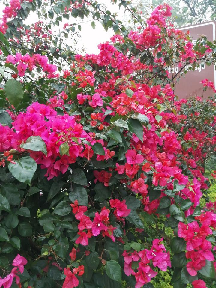 艳丽的花儿让马山县美不胜收